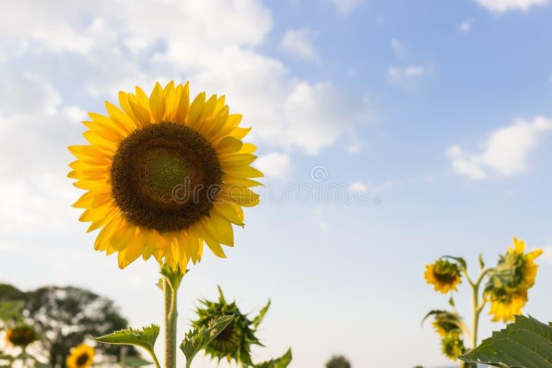 Blacklight da flor de Sun fotografia de stock royalty free