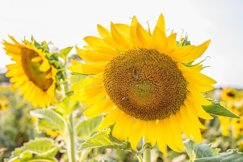 Blacklight da flor de Sun imagens de stock