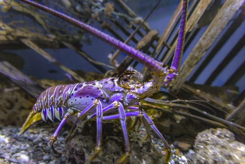 Blacklight rozjarzony purpurowy homar w fishtank zdjęcia stock