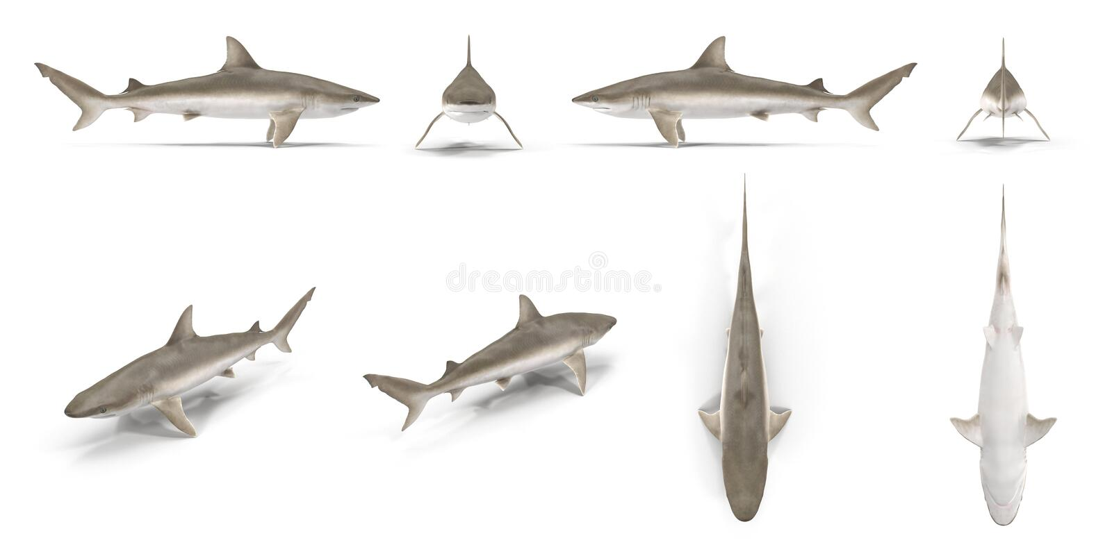 Blacknose Shark renders set from different angles on a white. 3D illustration. Blacknose Shark renders set from different angles on a white background. 3D royalty free illustration