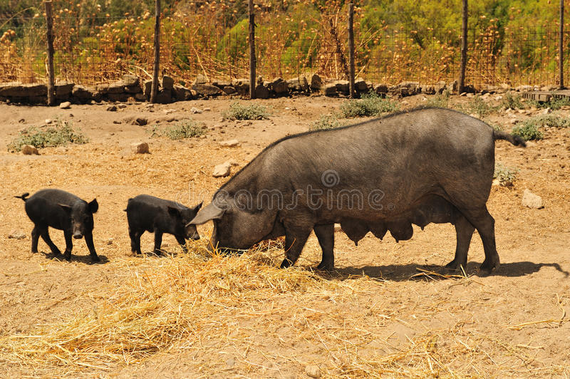 Blacks breeding pigs stock photography