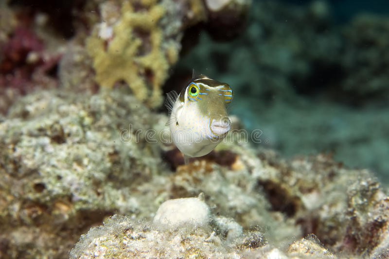 Blacksaddle toby mimic. Taken in the red sea royalty free stock photos