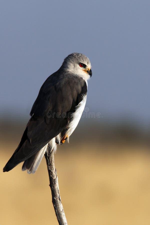 blackshouldered风筝纳米比亚 免版税库存照片