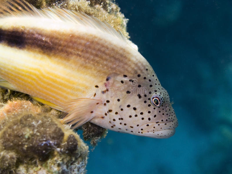 Blackside hawkfish in blue background stock images