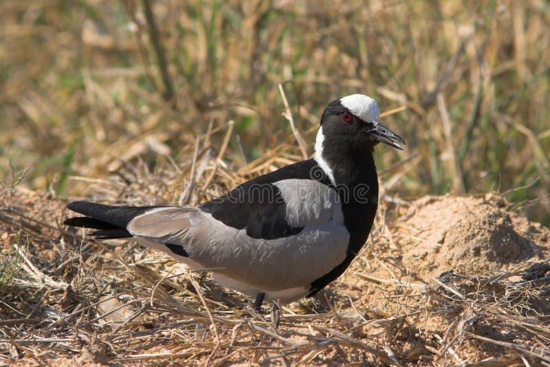 Download Blacksmith Lapwing stock photo. Image of beak, plover - 1422130