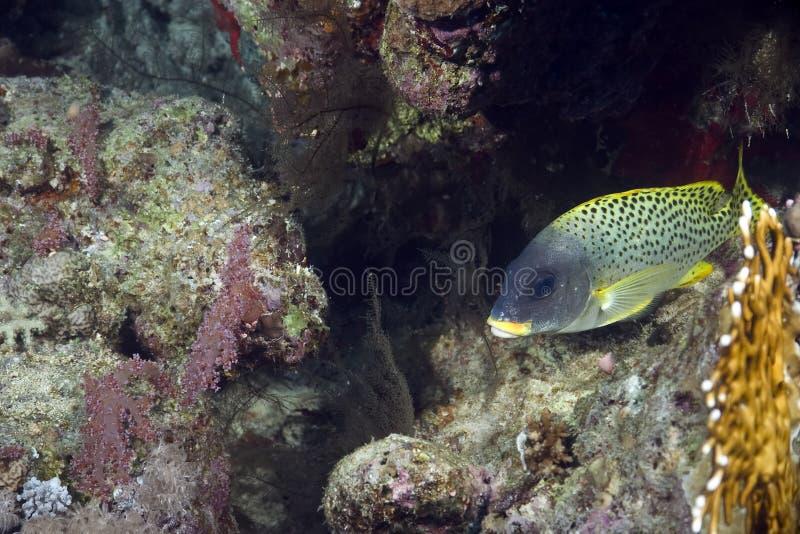 blackspotted珊瑚sweetlips 免版税库存照片