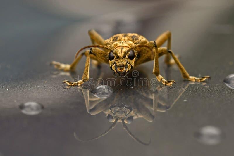 Blackspotted钳子供应甲虫,对被反映的光滑的表面的特写镜头 图库摄影