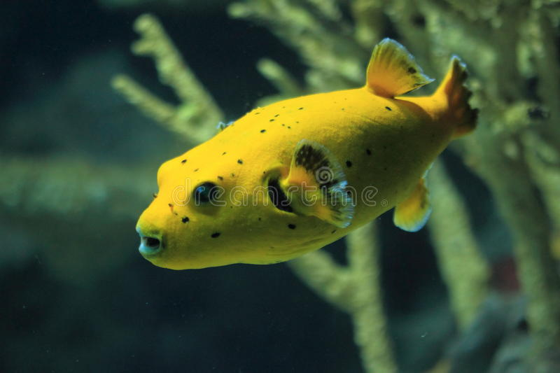 Blackspotted puffer. The blackspotted puffer also known as dog-faced puffer royalty free stock photography