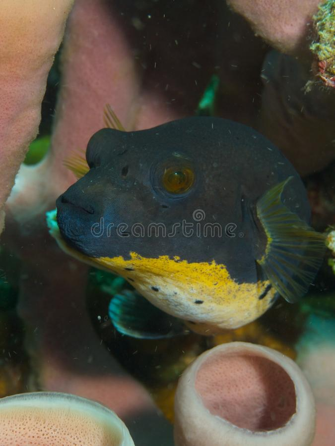 Blackspotted Puffer Fish. Macro portrait of a Blackspotted Puffer Fish royalty free stock images