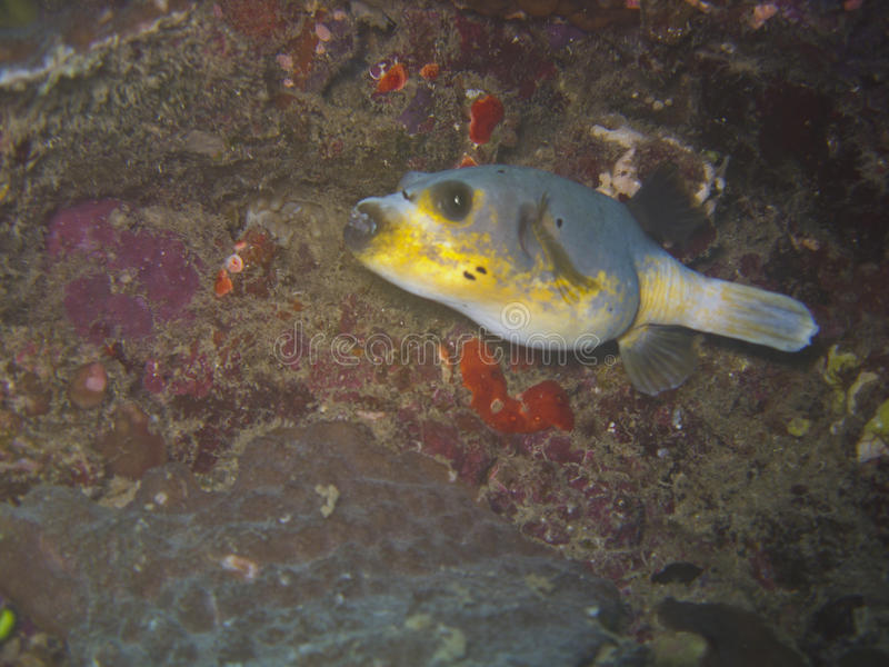 Blackspotted pufferfish stock image image 32340231 for Scientific name of fish
