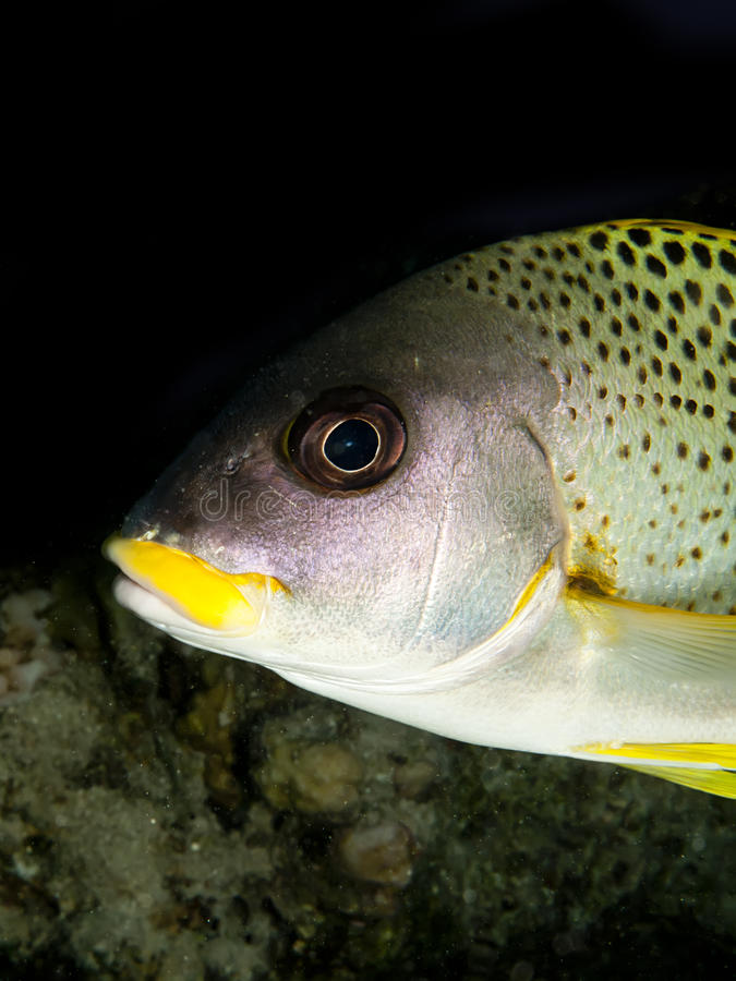 Free Blackspotted Sweetlips Royalty Free Stock Photos - 27961498