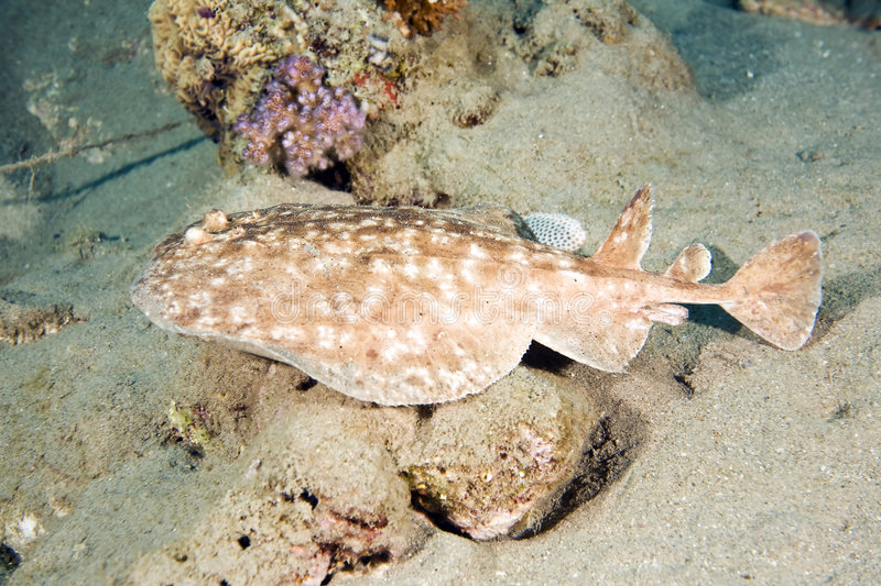Blackspotted torpedo ray royalty free stock images