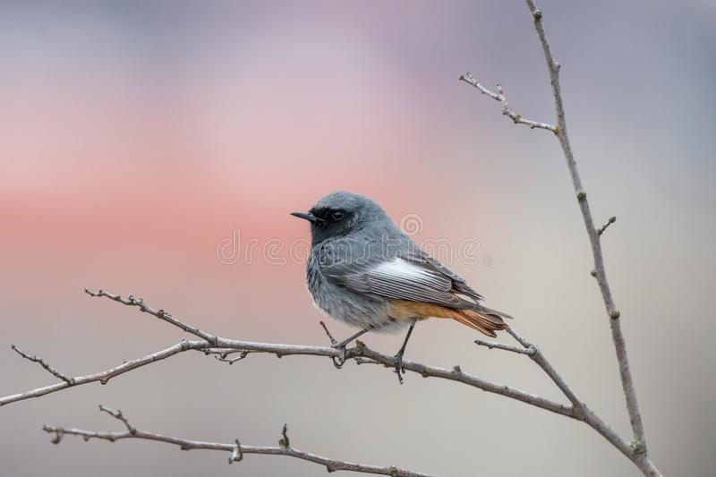 Black redstart bird perching on thin branch with purple background. Blackstart or black redtail Phoenicurus ochruros, male. Cute grey birdie with orange tail and royalty free stock photos
