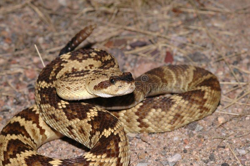 Blacktail响尾蛇 库存图片