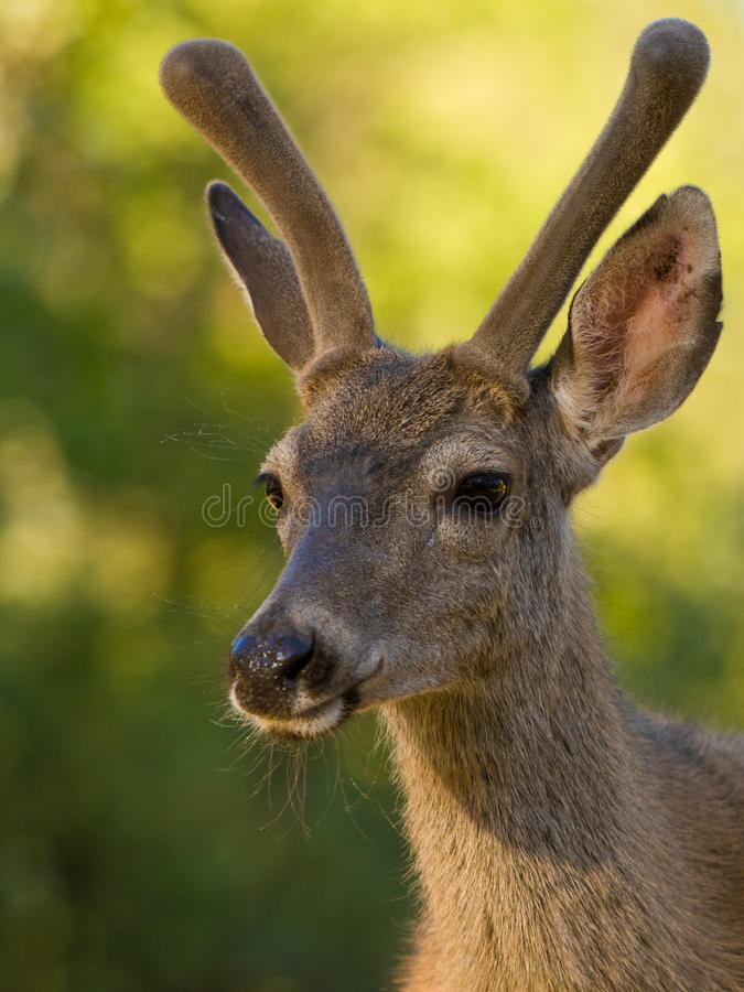 Blacktail Deer Portrait. Male black tailed deer with velvet antlers near Yosemite, California royalty free stock photo