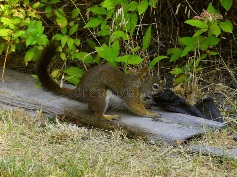 Blacktail-Eichhörnchen-Funktion lizenzfreie stockbilder