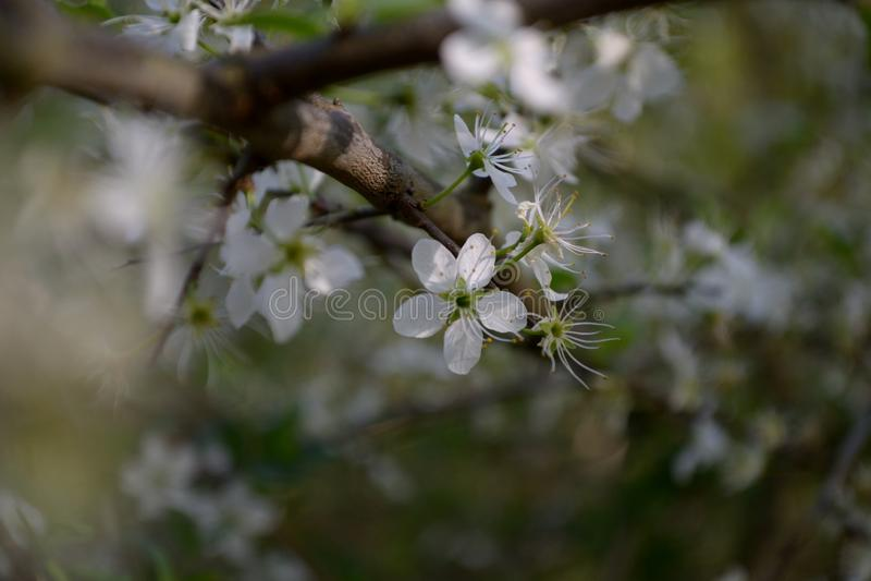 Blackthorn άνθος - λουλούδια άνοιξη στοκ εικόνα