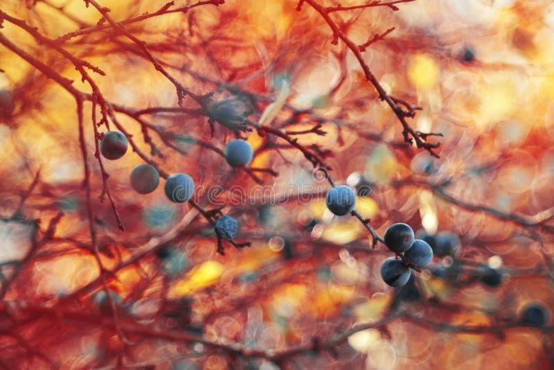 Blackthorn καυτό όνειρο στοκ εικόνες