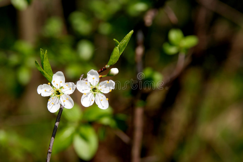 Download Blackthorn stock photo. Image of white, wildflower, branch - 798514