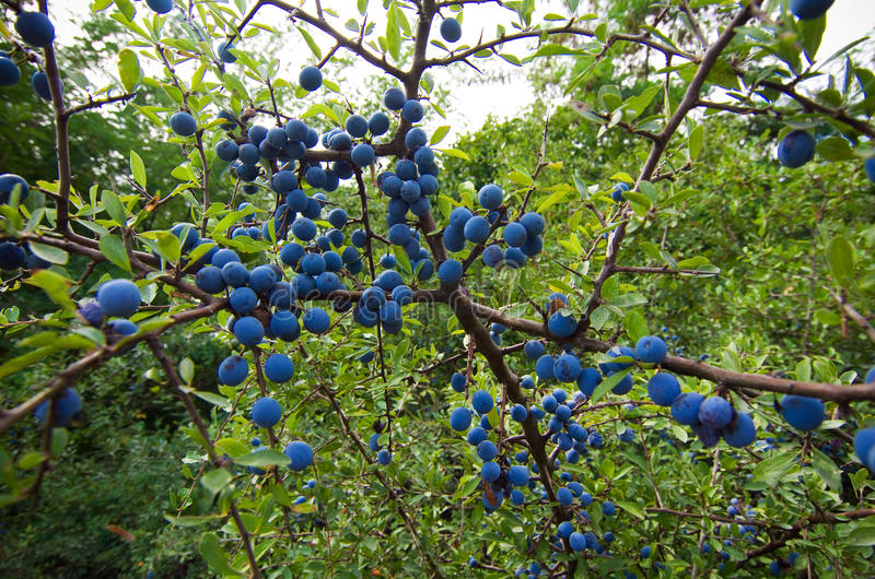 Blackthorn berries. Ripe blackthorn berries. The fruits can be eaten raw, made into jams or jelly or used for different alcoholic beverages royalty free stock photo