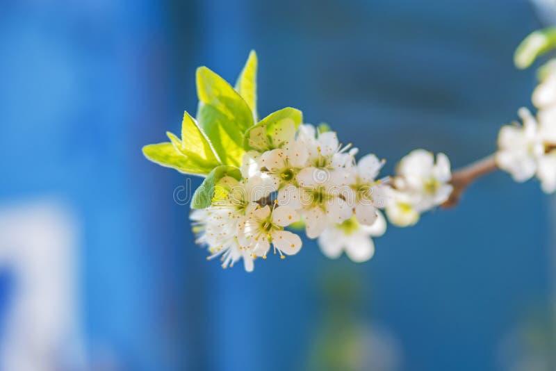 Blackthorn blossom, Prunus spinosus royalty free stock photos