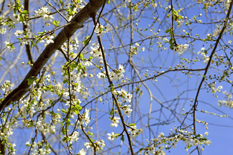 Blackthorn blossom in spring royalty free stock images