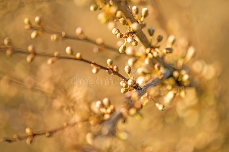 Blackthorn blossom in spring, closed blossom buds royalty free stock photo