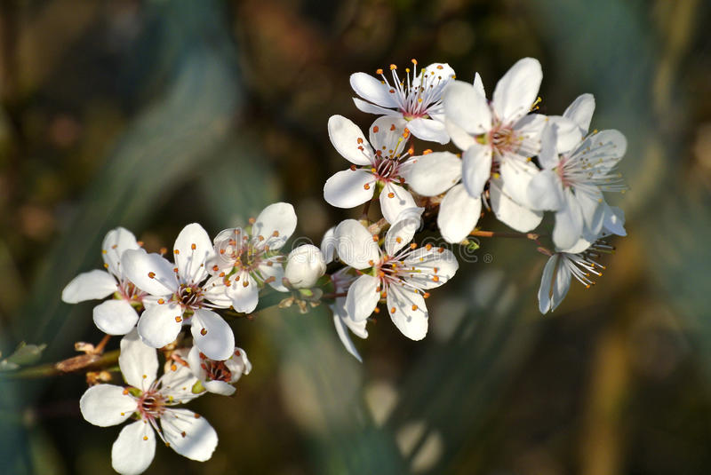 Blackthorn blossom in spring stock photos