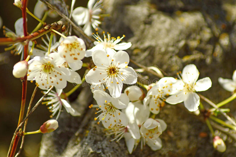 Blackthorn blossom in spring stock photo
