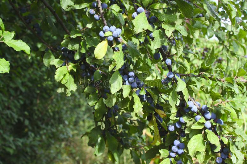 Blackthorn with fruits in the autumn. The picture shows blackthorn with fruits in the autumn stock photography