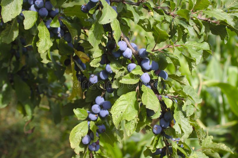 Blackthorn with fruits in the autumn. The picture shows blackthorn with fruits in the autumn stock image