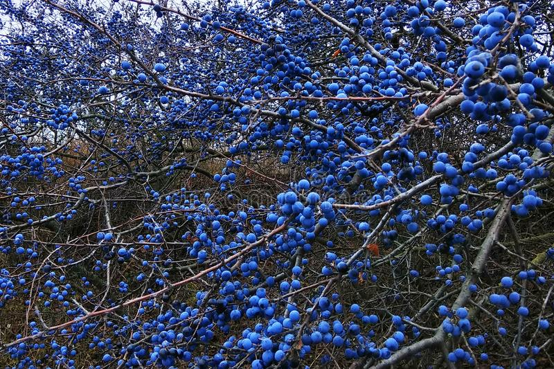 Blackthorn fruits on a bush. Blue sloe berries at early autumn royalty free stock photography