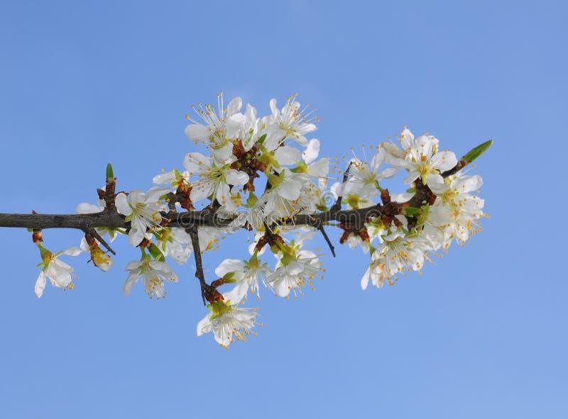 Blackthorn (Prunus spinosa) royalty free stock photo