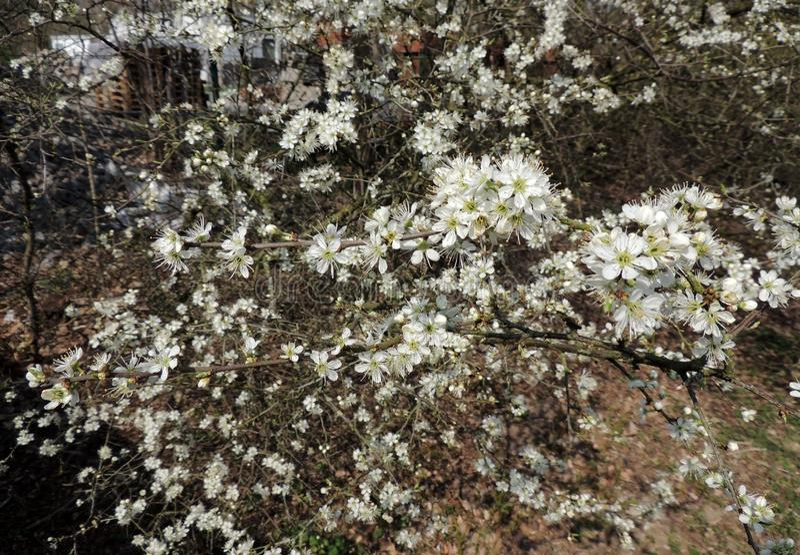 Blackthorn, Prunus spinosa royalty free stock image