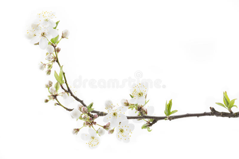 Blackthorn (prunus spinosa ) blossoms royalty free stock photo