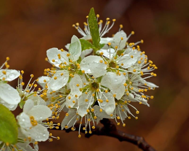 Blackthorn, Prunus Spinosa in flowers royalty free stock image
