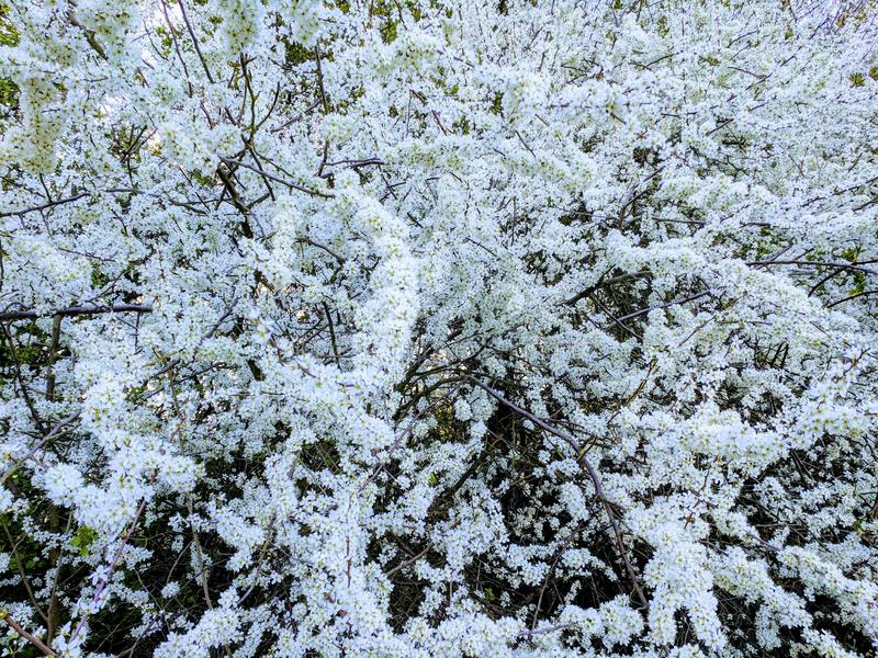 Blackthorn Prunus spinosacovered in witte bloesem royalty-vrije stock fotografie