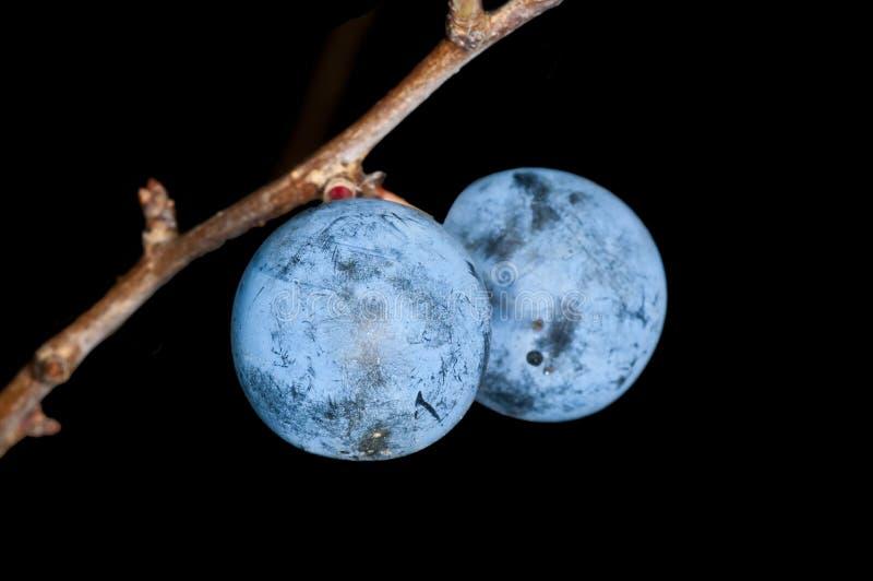 Blackthorn, Prunus spinosus stock photography