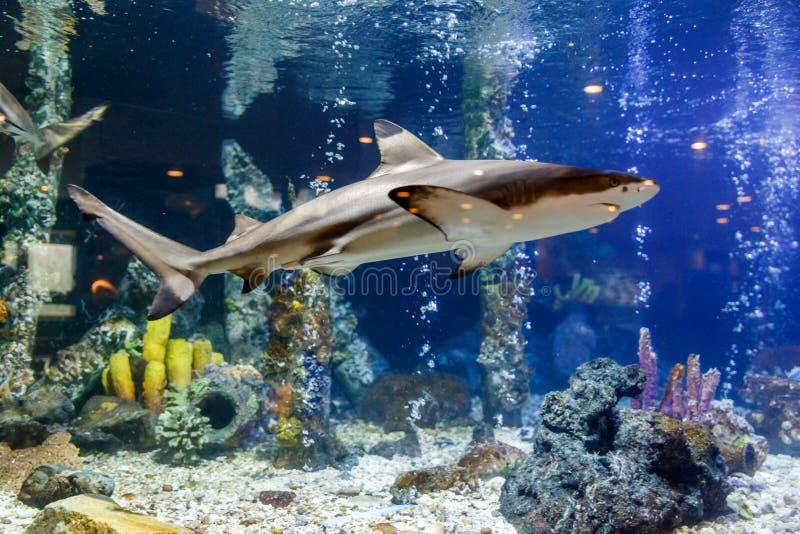 Blacktip在坦克的礁石鲨鱼在水族馆在珊瑚背景中 免版税库存照片