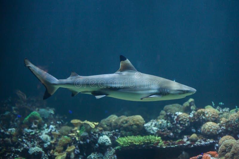 blacktip真鲨属melanopterus礁石鲨鱼 免版税库存图片