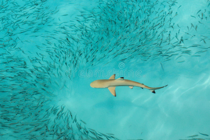 Blacktip礁石鲨鱼提供 免版税库存照片