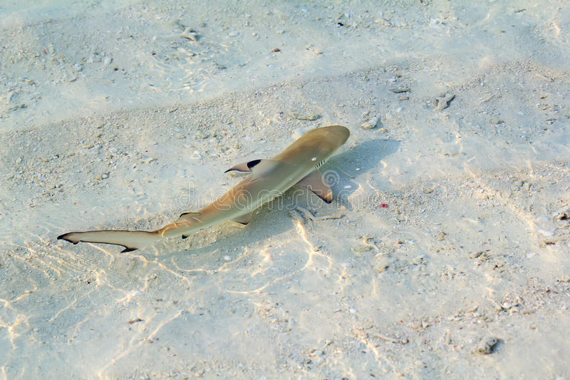 Blacktip礁石鲨鱼 免版税图库摄影
