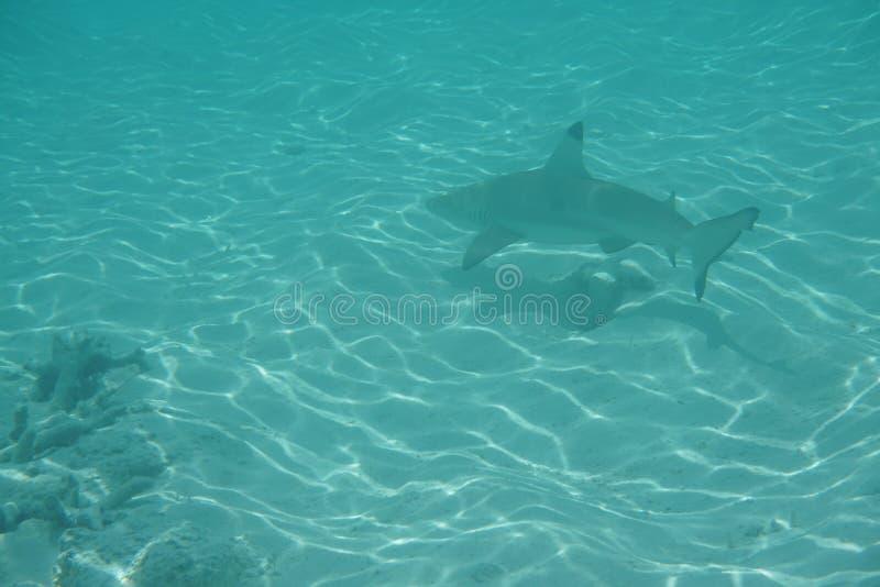 blacktip carcharhinus melanopterus rafy rekin zdjęcia royalty free