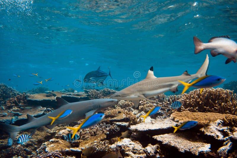 Blacktip et requins de whitetip photos libres de droits