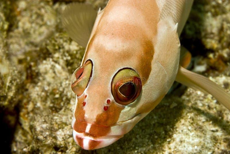 blacktip fasciatus grouper epinephelus zdjęcia stock