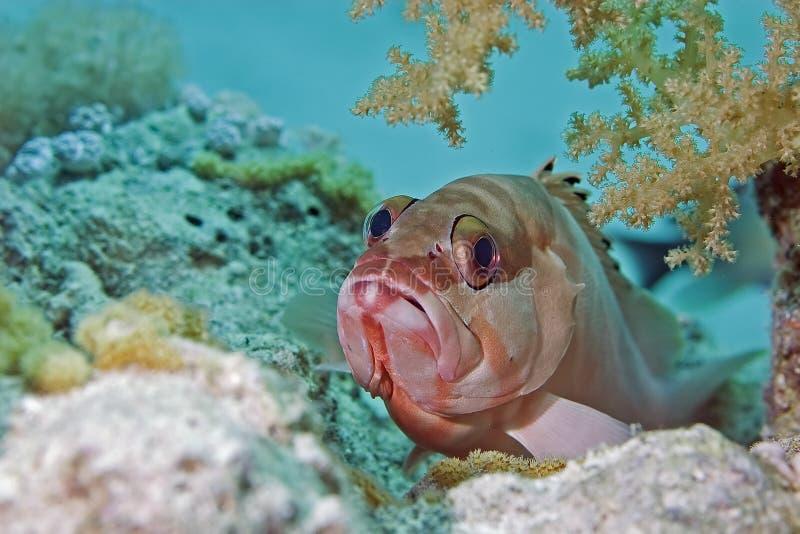 blacktip grouper fotografia royalty free