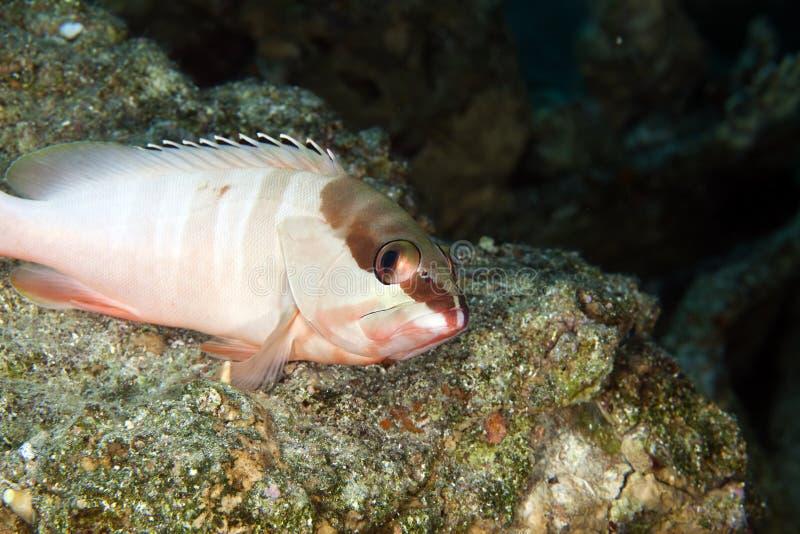 Blacktip grouper (epinephelus fasciatus) zdjęcia stock