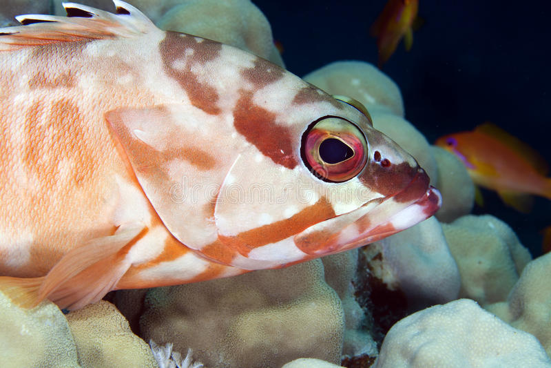 Blacktip grouper (epinephelus fasciatus). obraz royalty free