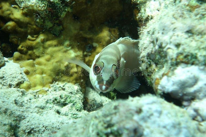 Blacktip grouper Epinephelus fasciatus w Czerwonym morzu obrazy royalty free