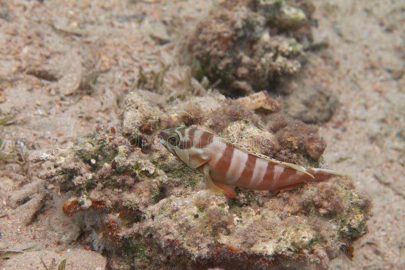 Blacktip Grouper w Czerwonym morzu zdjęcie royalty free